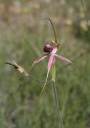 Caladenia arenicola - Carousel Spider Orchid