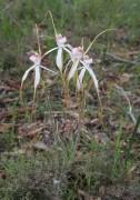 Caladenia longicauda subsp. eminens - Stark White Spider Orchid