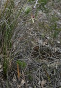 Caladenia excelsa - Giant Spider Orchid