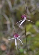 Caladenia gardneri - Cherry Spider Orchid