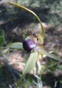 Caladenia georgii - Tuart Spider Orchid*