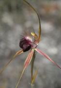 Caladenia huegelii - Grand Spider Orchid