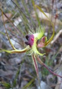 Caladenia lobata - Butterfly Orchid