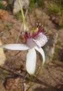 Caladenia longicauda - White Spider Orchid