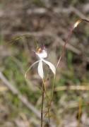 Caladenia speciosa - Sandplain Spider Orchid