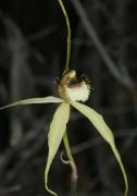 Caladenia citrina - Margaret River Spider Orchid