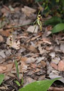 Caladenia corynephora - Club-lipped Spider Orchid