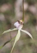 Caladenia uliginosa subsp patulens - Frail Spider Orchid