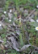 Caladenia uliginosa subsp. uliginosa - Darting Spider Orchid