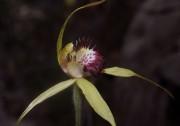 Caladenia viridescens - Dunsborough Spider Orchid
