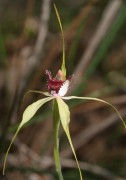 Caladenia viridescens - Dunsborough Spider Orchid