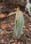 Caladenia williamsiae - William's Spider Orchid