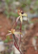 Caladenia williamsiae - William's Spider Orchid
