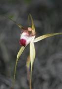 Caladenia granitora - Granite Spider Orchid