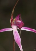 Caladenia harringtoniae - Pink Spider Orchid