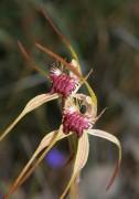 Caladenia heberleana - Heberle's Spider Orchid