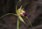 Caladenia infundibularis - Funnel-web Spider Orchid