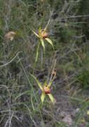 Caladenia procera - Carbunup King Spider Orchid