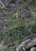 Caladenia caesarea - Mustard Orchid