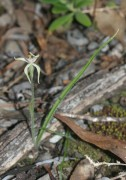 Caladenia bicalliata subsp cleistogama