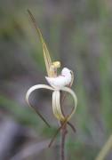 Caladenia dorrienii - Cossack Spider Orchid