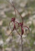 Caladenia filifera - Blood Spider Orchid