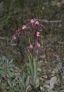 Caladenia footeana - Crimson Spider Orchid