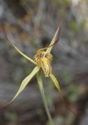 Caladenia caesarea subsp. maritima