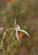 Caladenia melanema - Ballerina Orchid