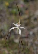 Caladenia postea - Dark-tipped Spider Orchid