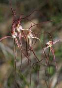 Caladenia pulchra - Slender Spider Orchid