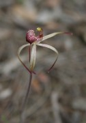 Caladenia radialis - Drooping Spider Orchid