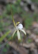 Caladenia sp. Quindanning - Boddington Spider Orchid