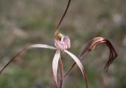 Caladenia pendens subsp. pendens - Pendant Spider Orchid