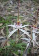 Caladenia vulgata - Common Spider Orchid