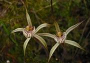 Caladenia vulgata - Common Spider Orchid*