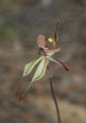Caladenia doutchiae - Purple-veined Spider Orchid