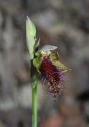 Calochilus stramenicola - Wandoo Beard Orchid