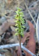 Corunastylis tepperi - Pygmy Orchid