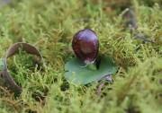 Corybas recurvus - Helmet Orchid