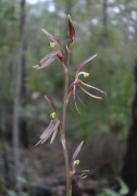 Cyrtostylis huegelii - Midge Orchid