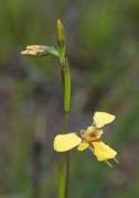 Diuris laevis - Nanny Goat Orchid