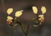 Diuris recurva - Mini Donkey Orchid