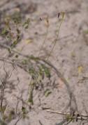 Drakaea confluens - Late Hammer Orchid