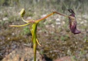 Drakaea gracilis - Slender Hammer Orchid