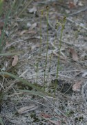 Drakaea livida - Warty Hammer Orchid