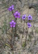 Elythranthera brunonis - Purple Enamel Orchid