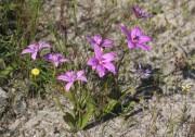 Elythranthera emarginata - Pink Enamel Orchid