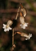 Gastrodia lacista - Bell Orchid
