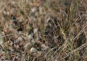 Leporella fimbriata - Hare Orchid